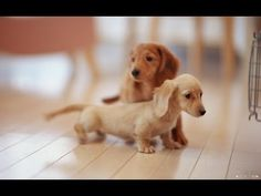 Cute Baby Dachshund Puppies If you want loyalty get a Dog, if you want loyalty and attention get a Smart Dog! Dachshund Funny, Dachshund Puppies, Weenie Dogs, Dachshund Love, Cute Puppies, Cute Dogs, Dogs And Puppies, Doggies, Baby Dogs