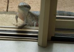 """Blue-tongued Lizard looking through my window, and scratching at it ... """"Can I come in""""?  / He was quite a large one, approx. 60cm long"""