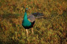 peacock in Yala National Park Sri Lanka