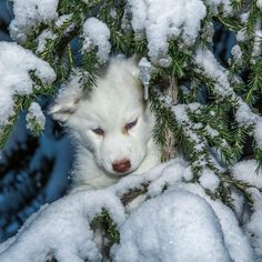 These Husky Puppies Playing In The Snow Are Cute Beyond Comprehension
