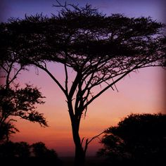 Acacia tree in the Serengeti. #sunset #instagram Instagram.com/thomsonsafaris