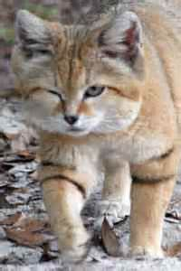 Sand Cat Population - Bing images Sand Cat, Beautiful Cats, Bing Images, Fox, Animals, Pretty Cats, Animales, Animaux, Animal