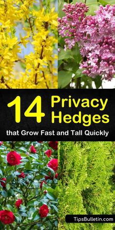 14 Privacy Hedges that Grow Fast and Tall Quickly Learn about low-maintenance, drought-tolerant evergreen privacy hedges with our tips and tricks. Find out what fast-growing, tall trees you can use in your backyard and your front yard. Hedges Landscaping, Garden Hedges, Home Landscaping, Landscaping Equipment, Landscaping Around Trees, Small Yard Landscaping, Florida Landscaping, Landscaping Supplies, Landscaping Design