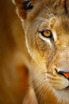 The lion ( Panthera leo ) is one of the five big cats in the genus Panthera and a member of the family Felidae. Beautiful Cats, Animals Beautiful, Regard Animal, Animals And Pets, Cute Animals, Wild Animals, Baby Animals, Female Lion, Gato Grande
