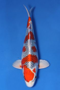 Kujaku Carpe Koi, Pond Water Features, Golden Fish, Salt Water Fish, Japanese Koi, Koi Carp, Fish Ponds, Beautiful Fish, Aquarium Fish