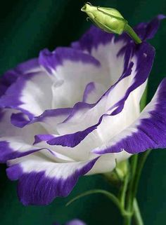 Lisianthus - Can you see God's beauty in everything around us...especially the detail of his incredible work?  Wow!