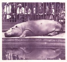 The Hippopotamus at the Zoological Gardens, 1852, by Juan Carlos Maria Isidro This scene from London Zoo is likely the first image ever taken of a hippo