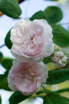 Mousseline est le plus remontant des rosiers moussus. Excellente variété, fleurissant de juin à octobre, portant de jolies fleurs globuleuses, s'ouvrant en coupe un peu creuse au centre, d'un blanc carné très délicat. La mousse recouvrant les boutons libère au frottement une odeur de résine de pin. Buisson de 1 m à 1,2 m, assez bonne résistance aux maladies. Centifolia Muscosa, MoreauRobert, 1881.