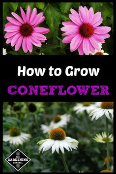 Grow the perennial coneflower in your gardens to attract pollinators. Learn with this growing guide how to care for and propagate coneflower.