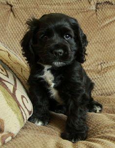 A black Cocker Spaniel puppy Black Cocker Spaniel Puppies, American Cocker Spaniel, Pet Dogs, Dog Cat, Doggies, Cute Puppies, Dogs And Puppies, Working Cocker, English Cocker