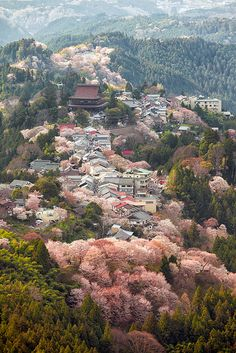 Cherry trees in full bloom, Mount Yoshino, Nara, Japan