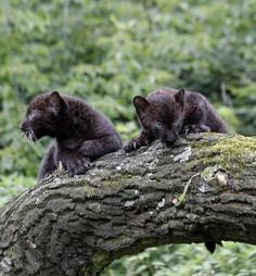 Two baby black panther cubs