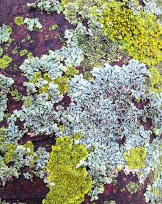 Lichens are composite organisms consisting of a fungus (the mycobiont) and a photosynthetic partner (the photobiont or phycobiont) growing together in a symbiotic relationship. This exuberant one flourishes on a tree trunk in cool, wet weather and shrivels up in the heat. http://en.wikipedia.org/wiki/Lichen #Lichens