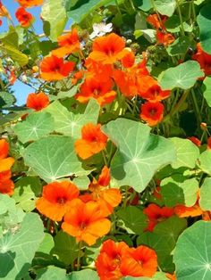 "Nasturtium (Kapuzinerkresse) - mulch plant - ""these flowers are also very useful in keeping the bugs away from fruit trees and vegetable gardens. Nasturtium can easily repel squash bugs, beetles, and white flies. Garden Pests, Edible Garden, Vegetable Garden, Garden Bugs, Permaculture, Growing Flowers, Planting Flowers, Container Gardening, Gardening Tips"