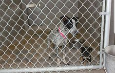 5-21-17 LAREDO, TX HIGH KILL!!! HELENA-ID #A34 -FEMALE-YOUNG-ADULT+1-PUP-HEELER POINTER X HELEN-ID #A34 -FEMALE-YOUNG-PUPPY-TRICOLOR CUTIE PIE #HAD #KENNEL #COUGH #TREATED #NEEDS #OUT ●●●URGENT ●●● A34 Female Heeler/Pointer Mix Young Mother With One Puppy If Interested In Adopting Locally The City Shelter, 5202 Maher Laredo, Texas Phone: 1-(956)717-5762 For More Information Email: rpena3@ci.laredo.tx.us