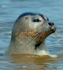 Afbeeldingsresultaat voor zeehond