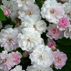 Cecile Brunner roses