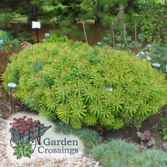 Add texture, and color contrast to your garden or landscape. Euphorbia  'Ascot Rainbow' adds an array of color.