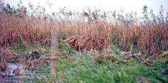 #guidofrilli nel Sinis di Riola - appostamento con capanno mimetico - falasco da 4 lati + 2 reti mimetiche