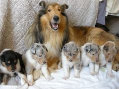 Rough Collie mama and babies!!