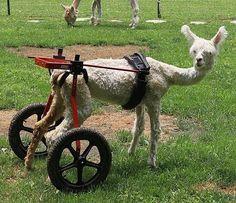Alpaca in carrozzina