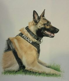 "Belgian Malinois K9 Unit PSD ""Chase"" pencil drawing"