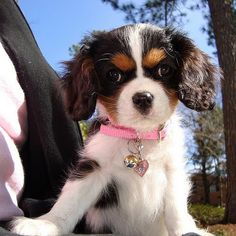 Cavalier King Charles Spaniel puppy (Tri-color style)