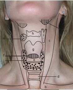 Landmarks of the Throat Area; viewing the throat from the outside and its relation to structures within. Medical Students, Medical School, Nursing Students, Nursing Tips, Nursing Notes, Physician Assistant, Medical Assistant, Nclex, Respiratory Therapy