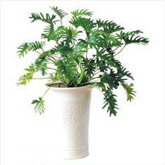Cây tay phật là loại cây cảnh nội thất , mọc theo bụi , thân cây màu xanh , lá hình bàn tay cây thích nghi với điều kiện sống khắc nghiệt tốt
