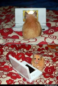 Hamster qui joue à la DS - Hamster playing DS
