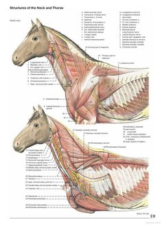 Anatomy of the Horse - Klaus Dieter Budras - Google Books