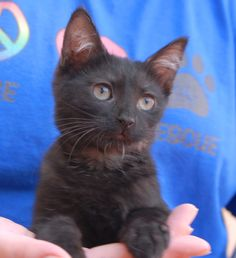 Dennis, Samantha (pictured), and Sara are affectionate rescued kittens ready for adoption now at Nevada SPCA (www.nevadaspca.org).  Tomorrow (Saturday) at 10am, more than a dozen more rescued kittens will be available too.  All have been lovingly raised and socialized in foster homes and are now at least 3 months of age and spayed/neutered.  Samantha and Sara were found under a car.  Numerous people have noticed their exceptionally human-like eyes.  Dennis is a playful adventurer.