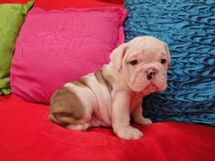 english bulldog puppie