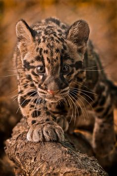 Clouded Leopard cub, Khao Kheow Open Zoo, Thailand  (by Ashley Vincent)