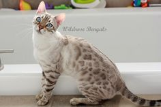 Ava the Snow Charcoal Bengal cat. Coloration: Seal Lynx