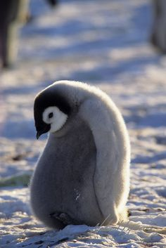 Emperor Penguin (Aptenodytes forsteri) chick. Atka Bay, Antarctica