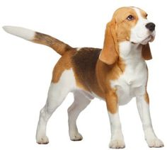 Beagles, originally used for hunting, are one of the most popular breeds of pet dog in the United States. Their good nature and compact size make them excellent family pets. Beagles are commonly described as being friendly, active, and independent. Find out more about Beagles and their common health conditions.