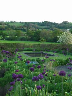 Love this garden with lots of green blending into the countryside.  The alliums will thrive, the lawn will be a problem, too much sun here.