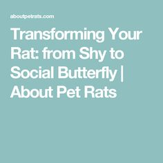Transforming Your Rat: from Shy to Social Butterfly | About Pet Rats
