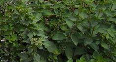 Growing Marjoram & Oregano | Sustainable Gardening Australia