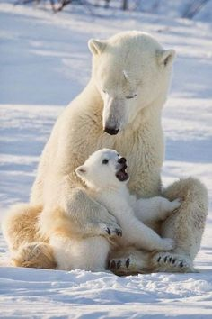 Mother Polar Bear getting the daily update from Junior.