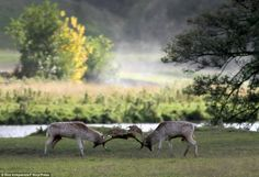 Stags are seen rutting in the early morning mist in Autumn
