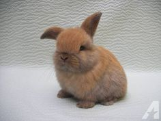 Cute Baby Bunnies   Super Cute Holland Lop bunnies for sale in SC for sale in Travelers ...