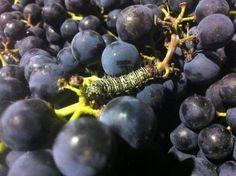 Rod McDonald caterpillar Wine Making Equipment, Growing Grapes, Harvest, Activities, Fruit, Caterpillar, Amazon