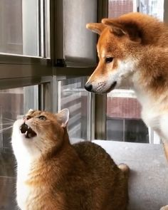 The doggy is worried about the kitty 😘 Vidéos chien et chat domestiques Funny Dog Videos, Funny Dogs, Cute Dogs, Best Cat Videos, Cute Funny Animals, Cute Baby Animals, Animals And Pets, Photo Chat, Raining Cats And Dogs