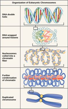 There are five levels of chromosome organization. From top to bottom: The top…