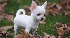 Tìm hiểu giống chó Chihuahua – loài vật siêu cấp đáng yêu