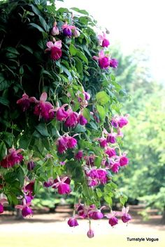 How to take care of Fushcias and keep them beautiful all season long. I really want to grow fuchsias. Beautiful Flowers Garden, Love Garden, Garden Care, Dream Garden, Beautiful Gardens, Outdoor Plants, Garden Plants, House Plants, Outdoor Gardens