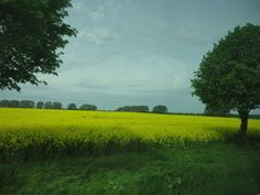 On the way to Bad Oeynhausen, admiring the beautiful yellows of the raps fields.
