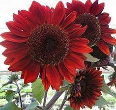 Heirloom 100 Seeds Helianthus Sunflower Jerusalem Articho... https://www.amazon.com/dp/B00ECRZNDQ/ref=cm_sw_r_pi_dp_U_x_3jkqAbG4MVFPR